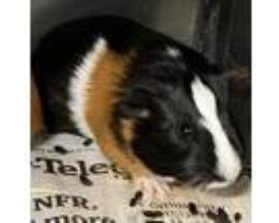 Adopt Piglet a Guinea Pig
