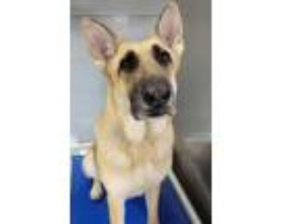Adopt LEAH a German Shepherd Dog