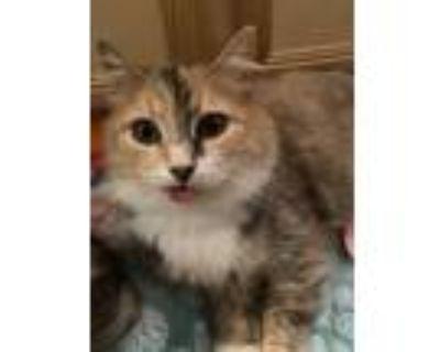 Adopt Priscilla a Calico or Dilute Calico Domestic Mediumhair / Mixed (medium