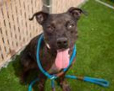 Adopt BART a Brindle - with White Catahoula Leopard Dog / Mixed dog in Phoenix