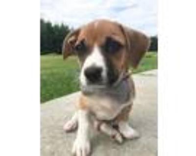 Adopt Homer a Tricolor (Tan/Brown & Black & White) Dachshund / Pit Bull Terrier