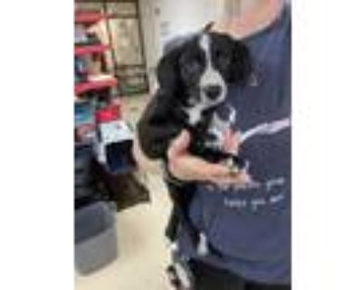 Adopt 47983684 a Black Retriever (Unknown Type) / Collie / Mixed dog in Fort