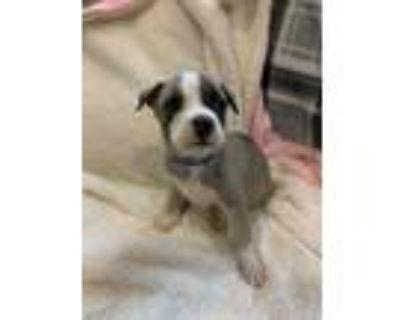 Adopt Caesar a American Staffordshire Terrier, Labrador Retriever