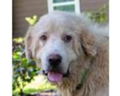 Adopt Travis a White Great Pyrenees / Mixed dog in Portland, OR (31502190)