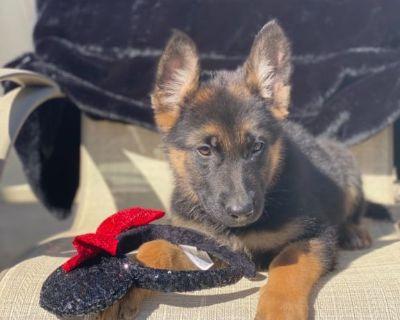 AKC WEST GERMAN SHEPHERD Puppy K9
