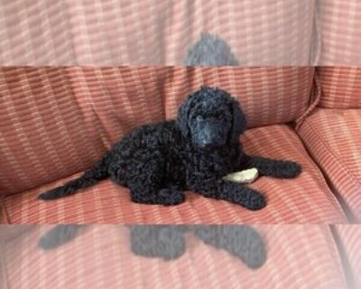 AKC REGISTERED BLACK MALE POODLE PUPPIES