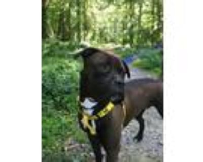 Adopt HUCKLEBERRY a Boxer, Pit Bull Terrier