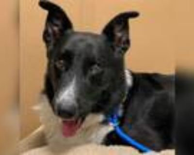 Adopt a Black - with White German Shepherd Dog / Mixed dog in Phoenix