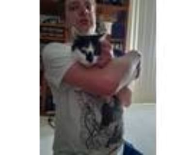 Adopt Bella a Black & White or Tuxedo American Shorthair / Mixed (short coat)