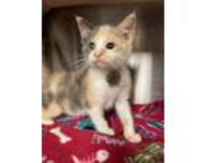 Adopt Nuthin' But Muffins a Domestic Shorthair / Mixed cat in Richmond