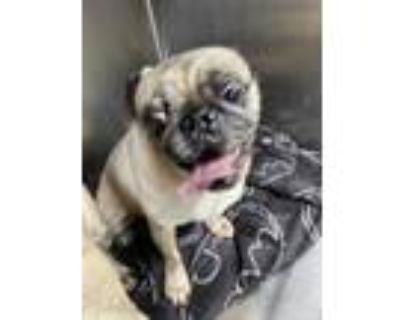 Adopt 6/17 fwaccBo a Tan/Yellow/Fawn Pug / Mixed dog in Fort Worth