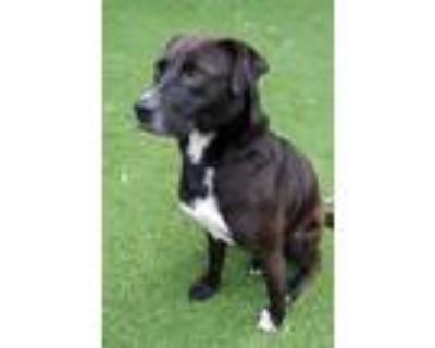 Adopt Roc a German Shepherd Dog, Labrador Retriever