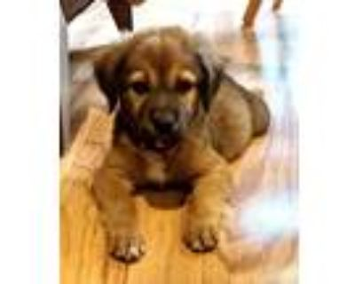Adopt Chewbacca a Shepherd (Unknown Type) / Mixed dog in Little Rock
