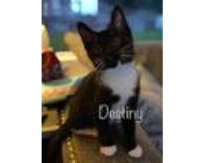 Adopt DESTINY a Black & White or Tuxedo American Shorthair / Mixed (short coat)