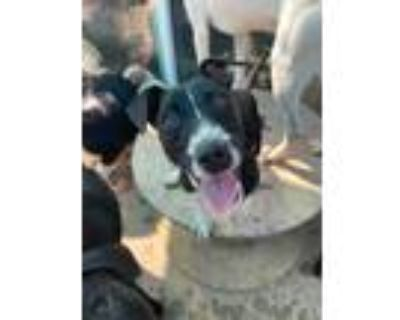 Adopt Indica a Black - with White Jack Russell Terrier / Terrier (Unknown Type