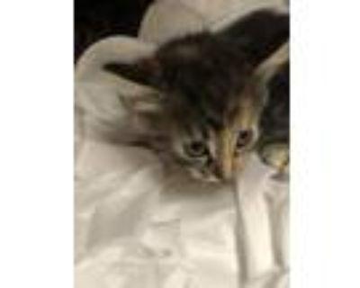 Adopt A660073 a Domestic Short Hair