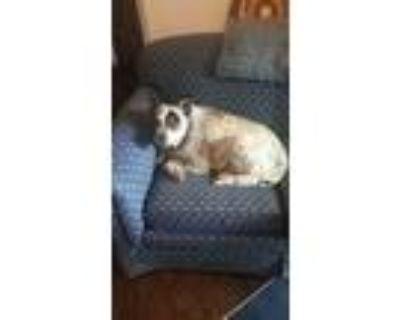 Adopt Clovis $150 a Australian Cattle Dog / Blue Heeler