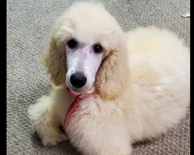Skybreeze Poodles Poodle Puppies
