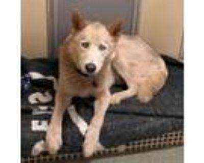 Adopt Azul -needs hwt/mc a Husky, Mixed Breed