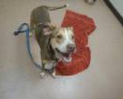 Adopt Garbanzo a Red/Golden/Orange/Chestnut Collie / Mixed dog in Boulder
