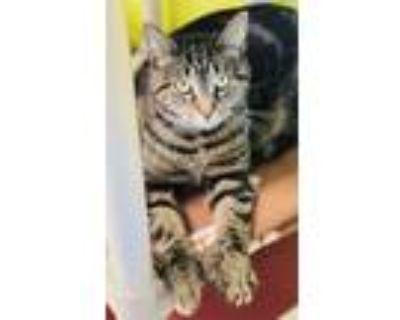 Adopt Tigger Toes a All Black Domestic Shorthair / Domestic Shorthair / Mixed