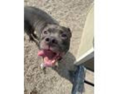 Adopt LOTUS a Pit Bull Terrier, Mixed Breed