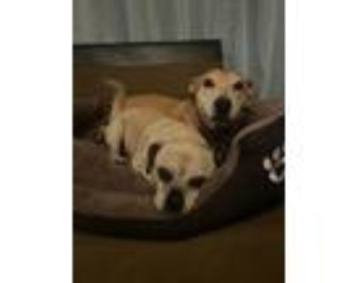 Adopt Bigalow a Tan/Yellow/Fawn - with Black Pug / Mixed dog in Beverly Hills