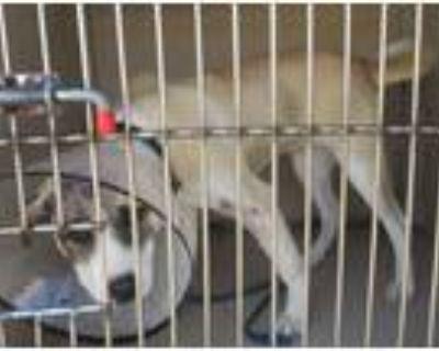 Adopt Mindy a Anatolian Shepherd / Mixed dog in LAFAYETTE, LA (31480558)