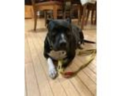 Adopt Rose a Black - with White Pit Bull Terrier / Mixed dog in Binghamton