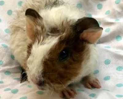 Teddy bear Guinea pigs From Healthy Pedigree Parents