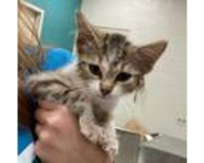 Adopt Janice a Tan or Fawn Bengal / Domestic Shorthair / Mixed cat in
