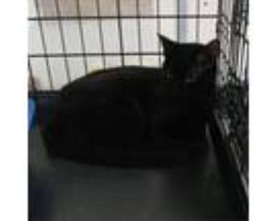 Adopt Pandora a All Black Domestic Shorthair / Mixed cat in Hemet, CA (29152785)