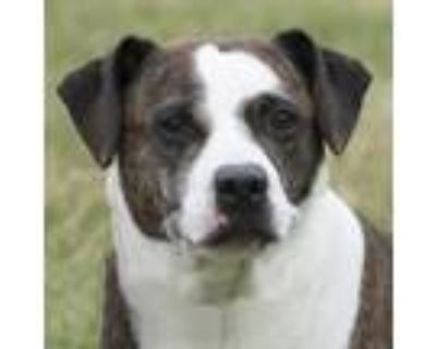 Adopt Pat a Brindle - with White Pit Bull Terrier / Mixed dog in Troy
