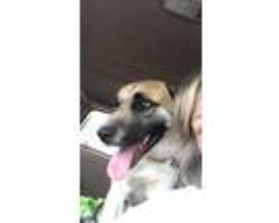 Adopt Stevie Wonder a Tan/Yellow/Fawn Sheltie, Shetland Sheepdog / Mixed dog in