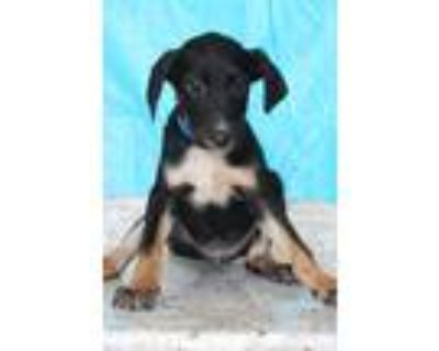 Adopt Turbo a Tricolor (Tan/Brown & Black & White) Terrier (Unknown Type