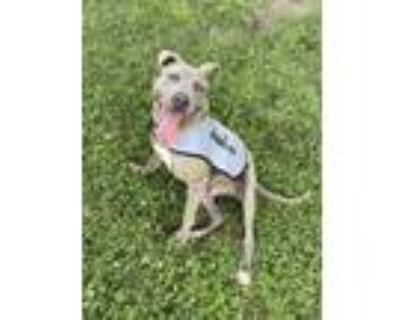 Adopt Dante a Pit Bull Terrier, Mixed Breed
