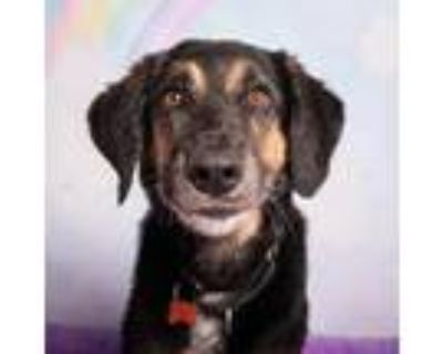 Adopt Beau Dacious a Black Shepherd (Unknown Type) / Mixed dog in Mission