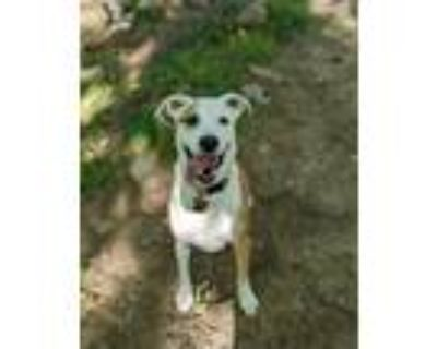 Adopt Luna a Tan/Yellow/Fawn - with White Retriever (Unknown Type) / Mixed dog