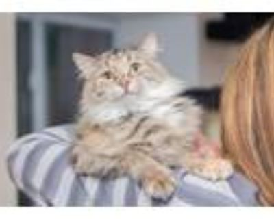 Adopt Alexis a Maine Coon