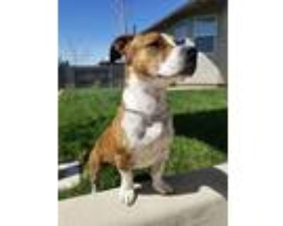 Adopt Winston a Brindle - with White American Pit Bull Terrier / Basset Hound