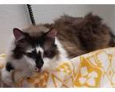 Adopt Loki a Snowshoe / Mixed cat in Albuquerque, NM (31671852)