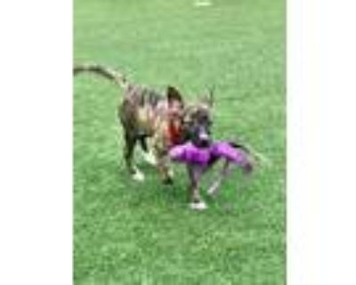 Adopt Reece a Mixed Breed, Whippet