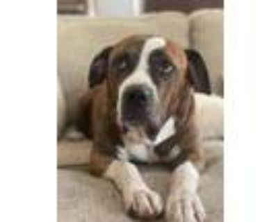 Adopt Hank Williams a American Pit Bull Terrier / Mixed dog in Germantown