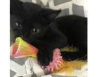 Adopt Binx American Eagle a Domestic Short Hair