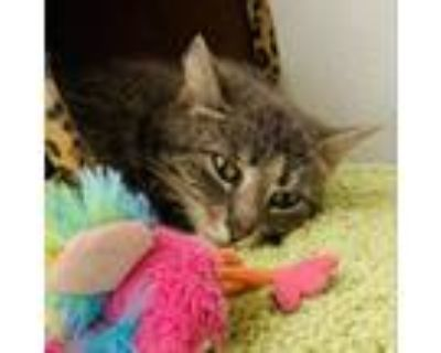 Adopt Penelope a Gray or Blue Domestic Mediumhair / Mixed cat in Blasdell