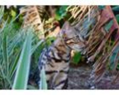 Adopt Blaze a Spotted Tabby/Leopard Spotted Bengal / Mixed (medium coat) cat in
