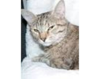 Maple, American Shorthair For Adoption In Claremore, Oklahoma