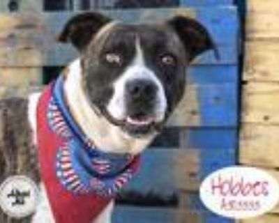 Adopt HOBBES a White American Pit Bull Terrier / Mixed dog in STOCKTON