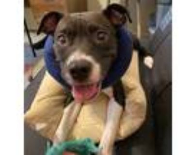 Adopt Gracie a Black - with White Terrier (Unknown Type, Medium) / Boxer / Mixed