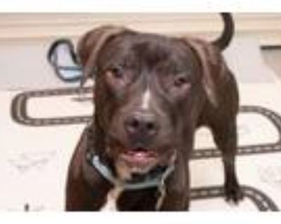 Navi, American Pit Bull Terrier For Adoption In Downers Grove, Illinois